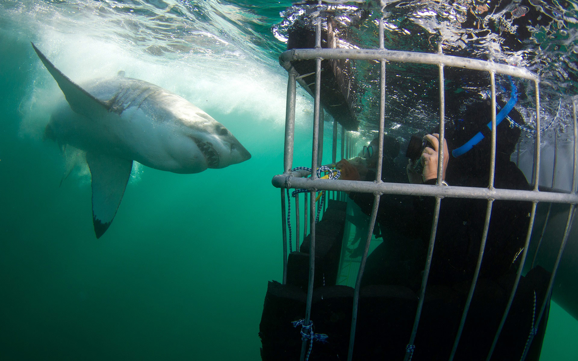 shark cage-diving